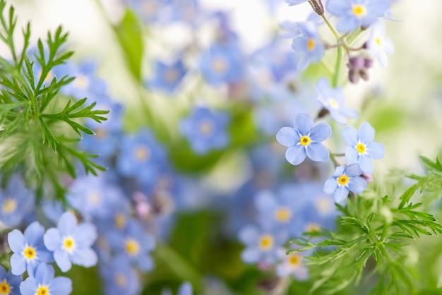 Kwitnące niebieskie kwiaty niezapominajki lato niewyraźna powierzchnia kwiatów