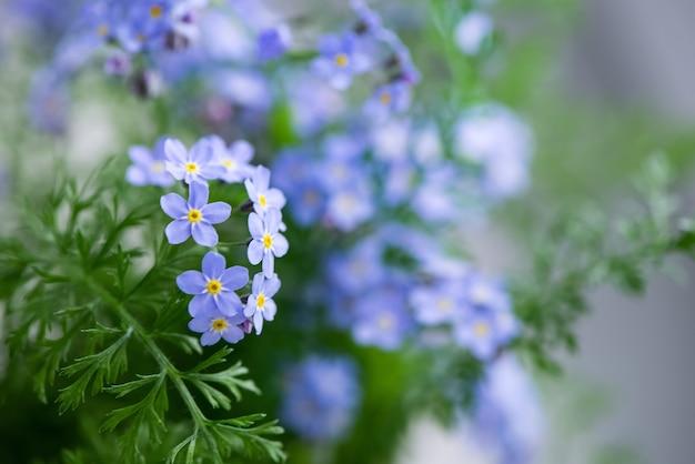 Kwitnące niebieskie kwiaty niezapominajki letnie kwiatowe zamazane powierzchnie
