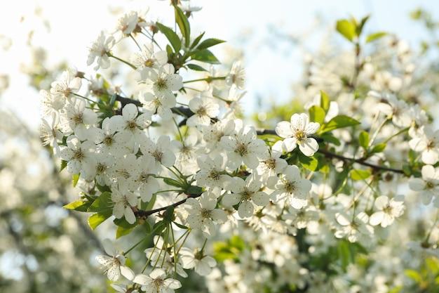 Kwitnące ogrody na wiosnę, kwitnące wiosenne drzewa. słoneczny wiosenny dzień