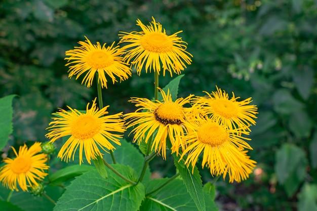 Kwitnące omanowe kwiaty (inula helenium)