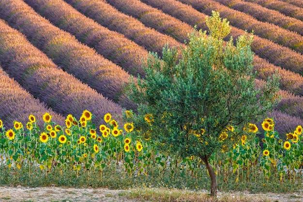 Kwitnące oświetlenie słoneczne pole lawendy słoneczniki na pierwszym planie prowansja francja