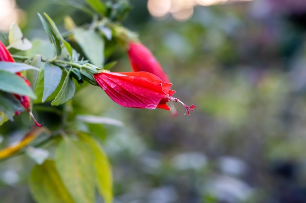 Kwitnące pąki kwiatowe hibiscus rosa sinensis lub joba z zielonymi liśćmi w ogrodzie na dachu