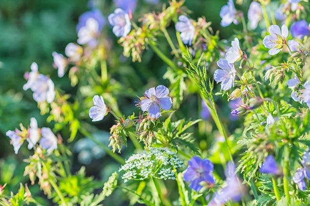 Kwitnące pelargonie w ogrodzie