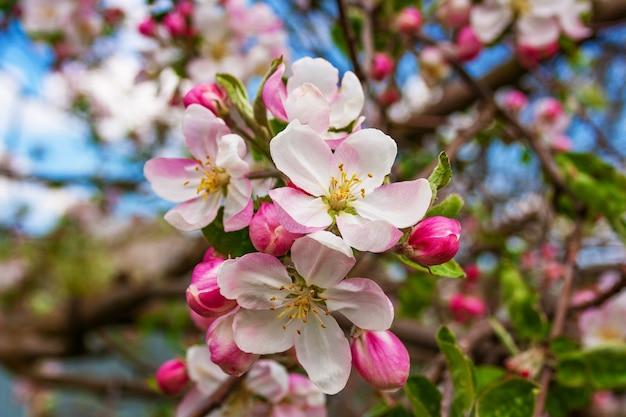 Kwitnące piękne delikatne kwiaty i wspaniałe pąki kwiatowe na oddzielnej gałęzi jabłoni