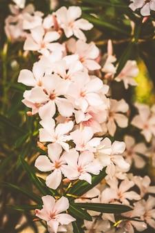 Kwitnące piękne kwiaty oleandrowych kwiatów czarnogóry