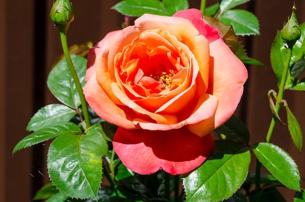 Kwitnące piękne róże ogrodowe w ogrodzie przed domem.