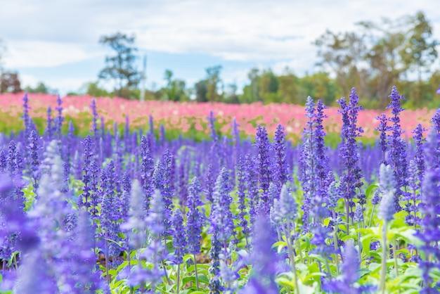 Kwitnące płytkie i selektywne fokus lawendy rosną w polu.