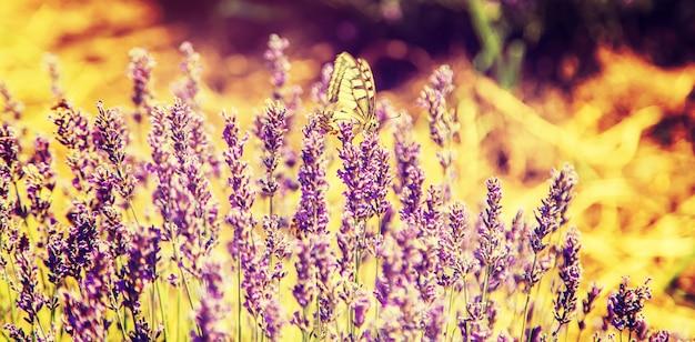 Kwitnące pole lawendy. motyl na kwiatach.