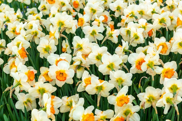 Kwitnące pole narcyza na wiosnę w ogrodzie