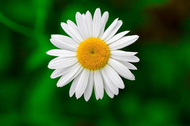Kwitnące pole rumianku, kwiaty rumianku.