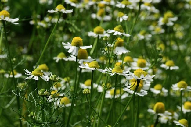 Kwitnące pole stokrotek na całym tle w jasnych kolorach. niski kąt widzenia