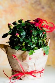 Kwitnące róże w doniczce, wiadomość miłości, czerwone serce. kwiaty owinięte w piękny papier z kokardą i czerwonymi sercami.