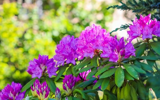 Kwitnące różowe kwiaty rododendronów w wiosennej koncepcji ogrodniczej