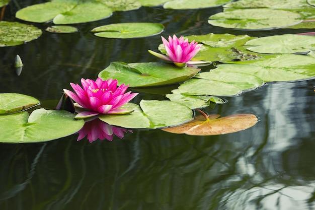 Kwitnące różowe lilie wodne nymphaea w jeziorze bokod, węgry