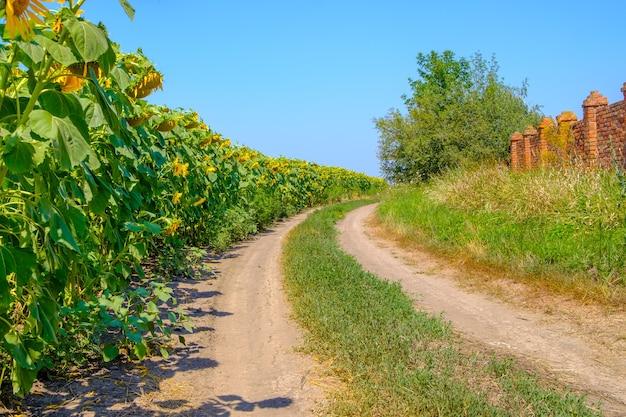 Kwitnące słoneczniki wzdłuż wiejskiej drogi