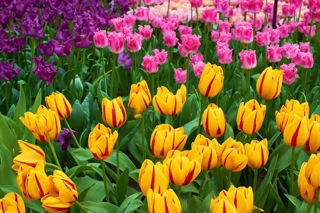 Kwitnące świeże, wielobarwne tulipany w ogrodzie w szklarni