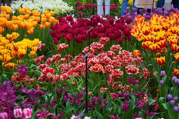 Kwitnące świeże, wielokolorowe tulipany w szklarni w parku. wiosenne kwiaty