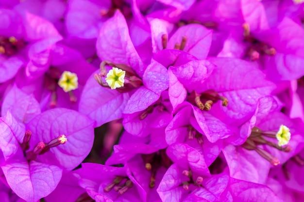 Kwitnące tło kwiaty bugenwilli.