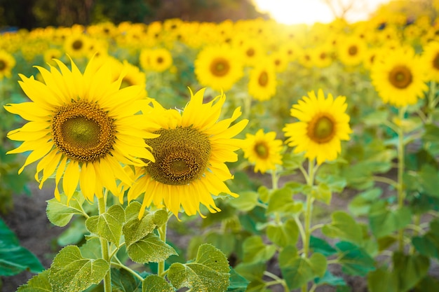Kwitnące tło pola słoneczników letni zachód słońca w tajlandii