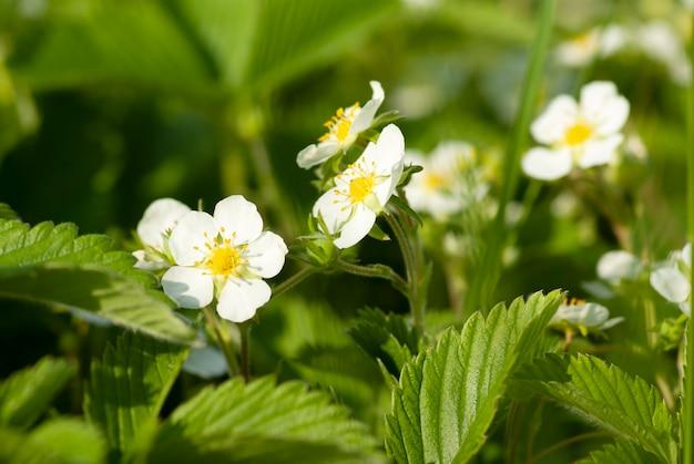 Kwitnące truskawki w ogrodzie wiosną.