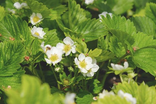 Kwitnące truskawki wiosną na polu. świeże zielone liście i kwiaty truskawki.