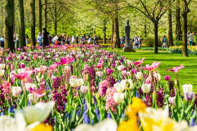 Kwitnące tulipany kwietniki w ogrodzie kwiatowym keukenhof