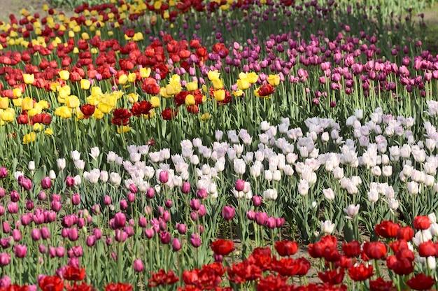 Kwitnące tulipany na nabrzeżu nowosybirska wielokolorowe kwietniki z selektywnym skupieniem