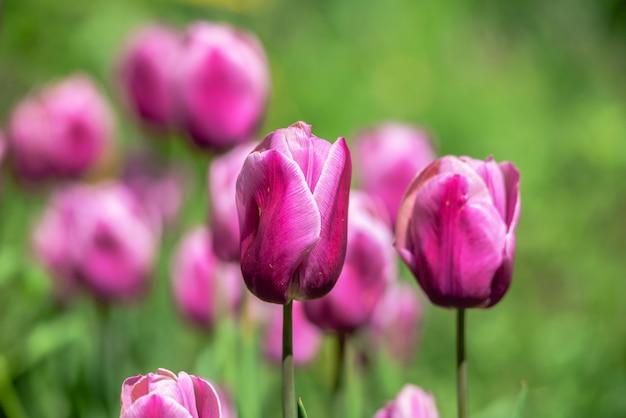Kwitnące tulipany w arboretum kropywnycki w słoneczny wiosenny dzień