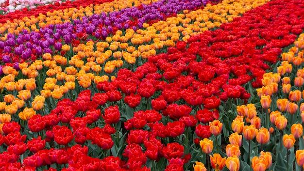 Kwitnące tulipany w keukenhof, największym na świecie parku kwiatowym