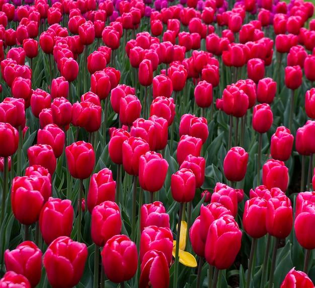 Kwitnące tulipany w kolorze fuksji keukenhof największy na świecie park ogrodowy z kwiatami.