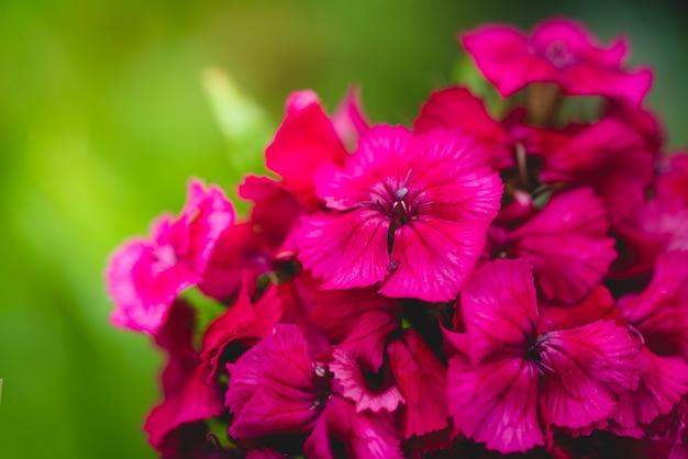 Kwitnące tureckie goździki z bliska goździk barbatus rośliny ogrodowe kwiat tło bylina
