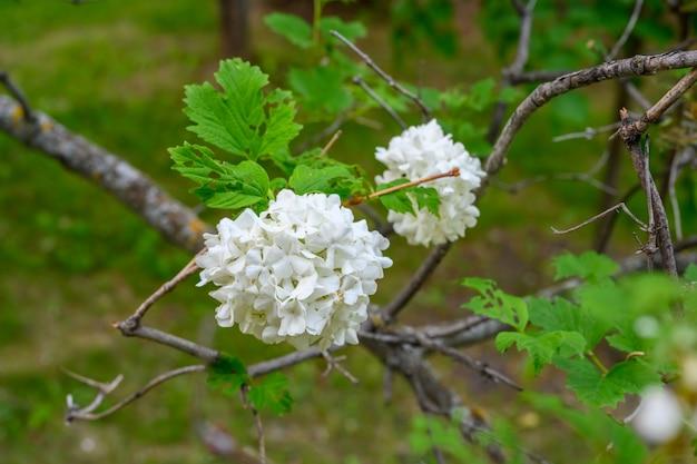 Kwitnące wiosenne kwiaty. duże piękne białe kule kwitnącej viburnum opulus roseum (boule de neige). white guelder rose lub viburnum opulus sterilis, snowball bush, european snowball to krzew.