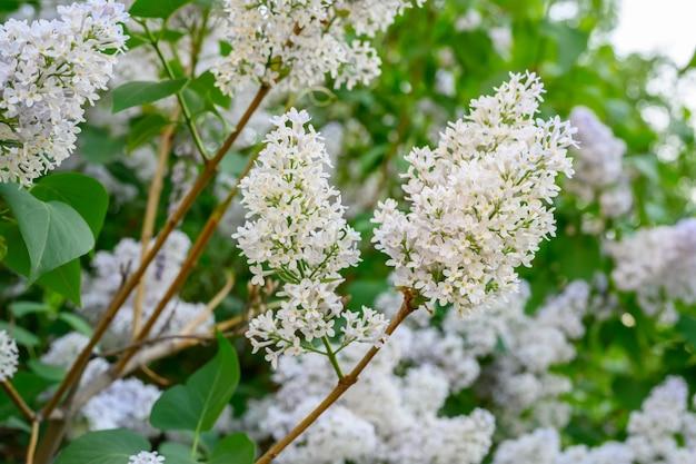 Kwitnące wiosenne kwiaty piękne kwitnące kwiaty bzu koncepcja wiosny
