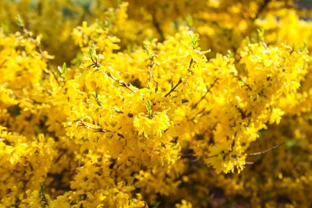 Kwitnące wiosenne żółte kwiaty forsycji na zewnątrz