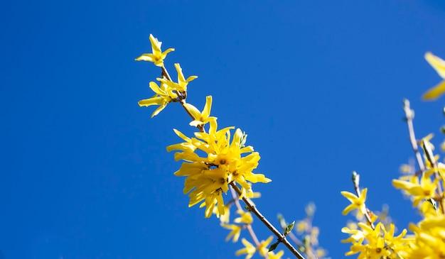 Kwitnące wiosenne żółte kwiaty krzewiaste - forsythia intermedia border forsythia . małe żółte kwiaty na gałęzi na tle błękitnego nieba