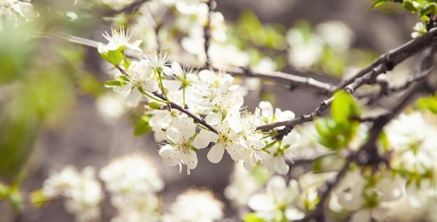 Kwitnące wiosną śliwki drzewo w ogrodzie.