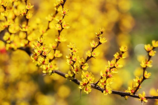 Kwitnące wiosną żółte pąki na drzewach. koncepcja wczesnej wiosny.