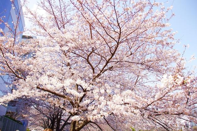 Kwitnące wiśnie w japonii w kwietniu