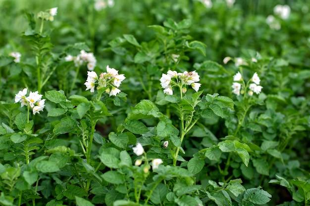 Kwitnące ziemniaki. biały kwitnący kwiat ziemniaka w gospodarstwie