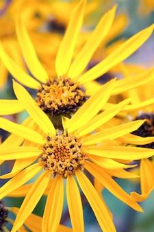 Kwitnące żółte kwiaty echinacei w letnim parku miejskim