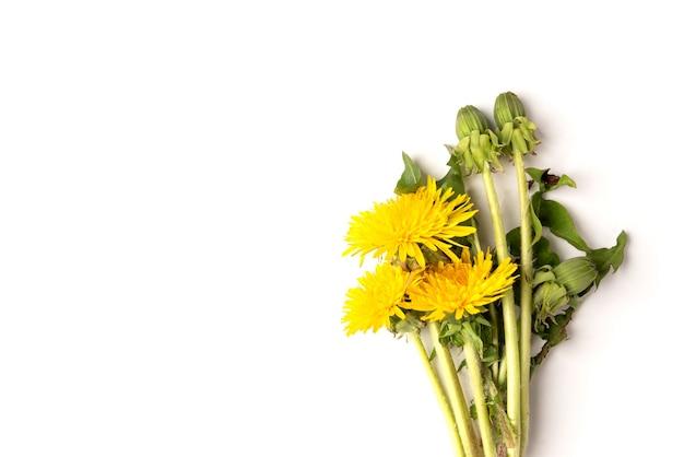 Kwitnące żółte mlecze na białym tle