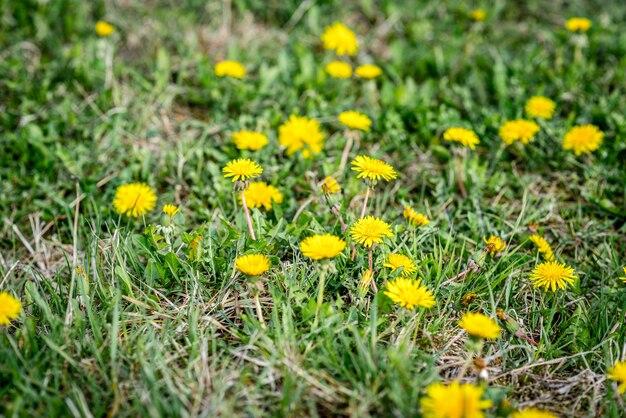Kwitnące żółte mlecze na wiosnę