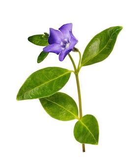 Kwitnący barwinek na białym tle roślina lecznicza z różnych nowotworów