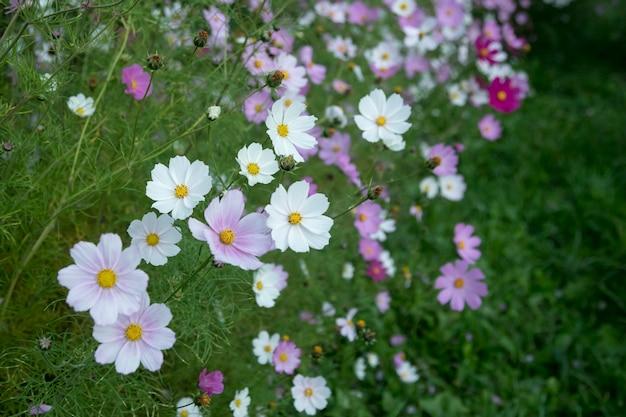 Kwitnący biały i różowy kosmos ogrodowy (cosmos bipinnatus) kwiaty na łące. ogrodnictwo, dekoracja stoczni