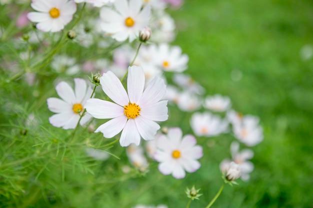 Kwitnący biały kosmos ogrodowy (cosmos bipinnatus) kwiaty na łące. nieostrość