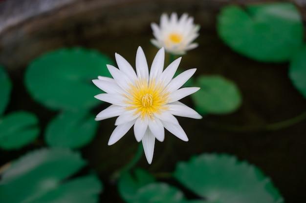 Kwitnący biały kwiat lotosu na stawie