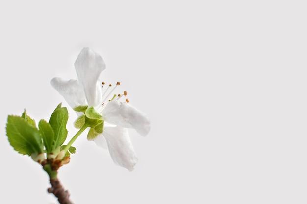 Kwitnący biały kwiat zbliżenie