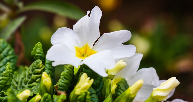 Kwitnący biały pierwiosnek w wiosennym ogrodzie
