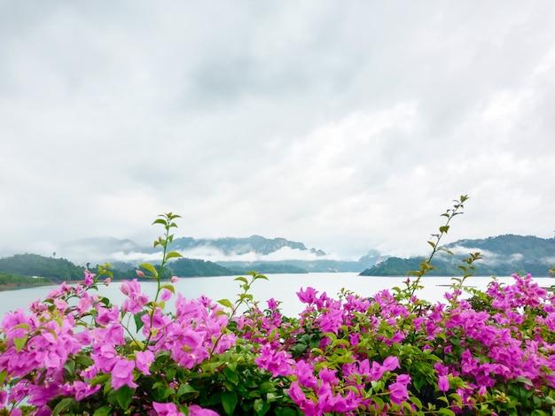 Kwitnący bougainvillea kwitnie na natury tle