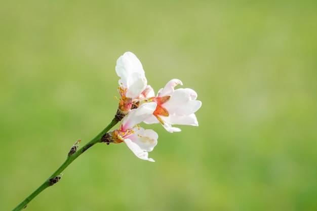 Kwitnący brzoskwiniowy kwiat na wiosnę.